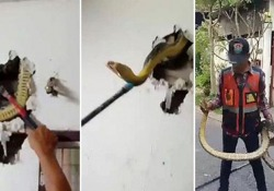 Il serpente lungo 4 metri e mezzo si era nascosto in casa di un uomo a Bangkok