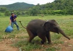 Avete mai sentito un elefantino sghignazzare?