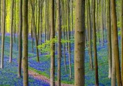 Ogni anno, a fine aprile, la foresta di Hallerbos, a sud di Bruxelles, si colora di blu