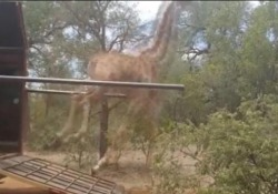 La scena esilarante di due esemplari in Botswana