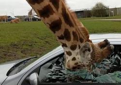 La scena girata in Inghilterra, al West Midlands Safari Park. Dall'interno dell'auto hanno alzato il finestrino