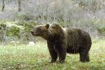 Orso muore durante la cattura, si riapre la polemica sulla sedazione