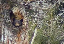 L'orso nero (Ursus americanus) ripreso da una telecamera all'interno del Glacier National Park, nel Montana, Usa