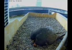 Si è schiuso il primo uovo di falco sul Pirellone di Milano