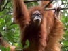Un raro esemplare di orango (Pongo tapanuliensis). Vive  a Sumatra ed è minacciato di estinzione (fonte: Maxime Aliaga)