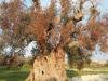 Semplificazioni :arriva obbligo distruzione ulivi con Xylella
