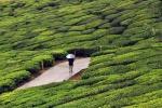 India: record di produzione ed esportazione per il tè