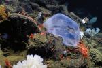 La Deepstaria Enigmatica, la medusa che sembra una busta di plastica (fonte: Gruber et al./American Museum Novitates)