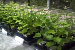 I pioppi selezionati in modo da catturare nelle radici ifarmaci dispersi nelle acque reflue (fonte: Scuola Superiore Sant'Anna)
