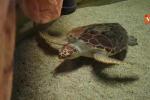 Il momento in cui le tartarughe raggiungono l'acqua