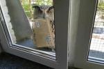 Come in Harry Potter: il gufo postino aspetta per la consegna fuori dalla finestra