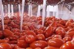 Coldiretti, al via primo raccolto di pomodoro Made in Italy etichettato