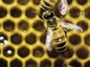 Fao, le api devono essere protette per tutelare nostro cibo