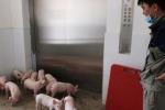 """Sul monte Yaji, nel sud della Cina, è sorto un """"hotel per maiali"""", un grattacielo di 13 piani"""