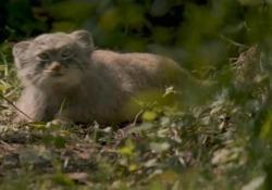 Si tratta di 4 esemplari di gatti di Pallas