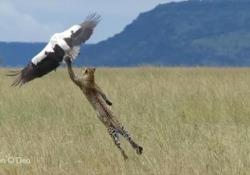 Il video girato da una turista nel Parco nazionale del Serengeti, in Tanzania