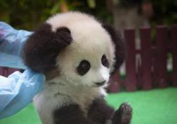Il tenero cucciolo è il secondo nato in cattività nel Paese asiatico negli ultimi tre anni