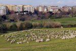 Pecore al parco della Caffarella a Roma