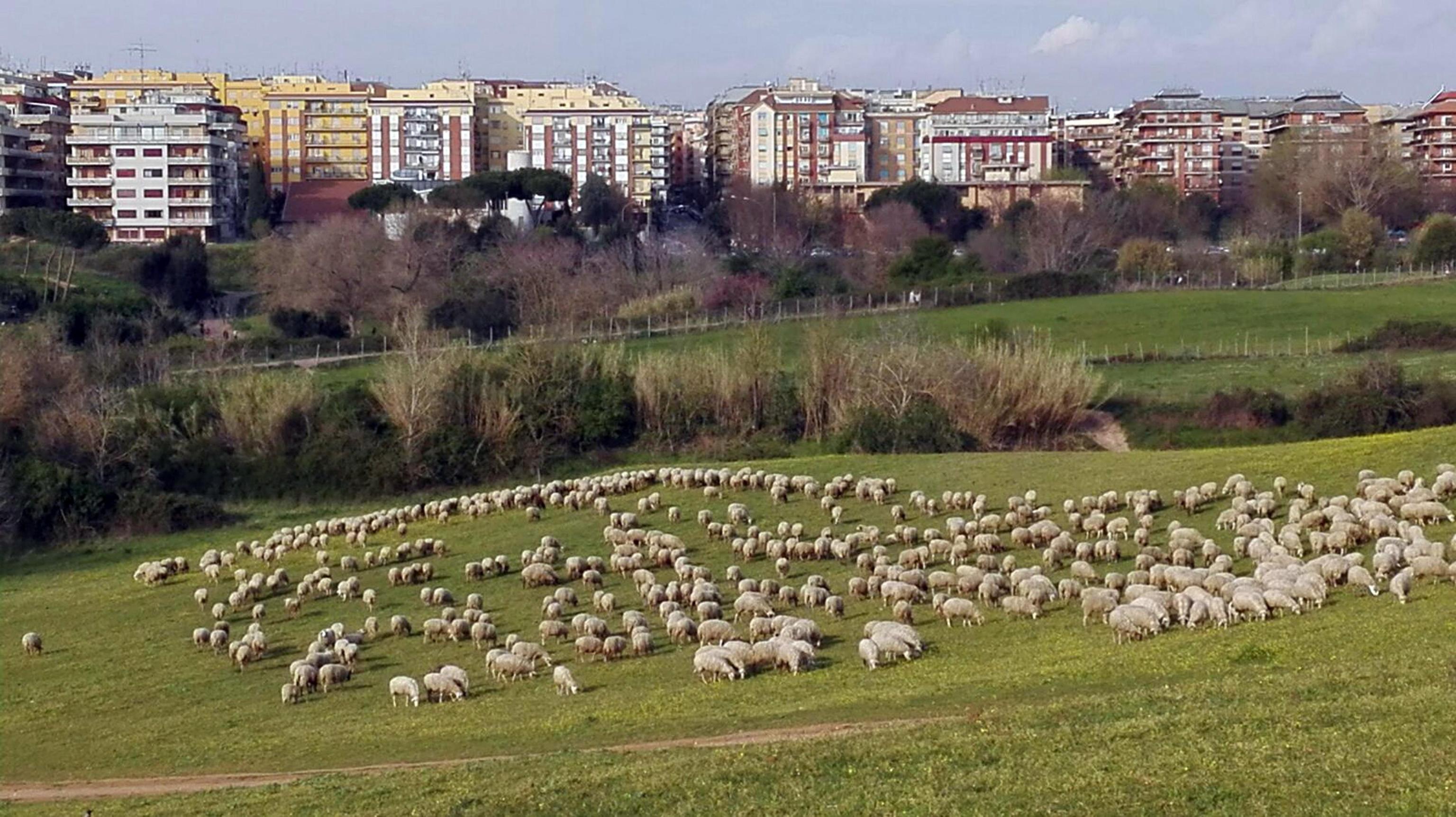 Roma: pecore 'tosaerba' in ville,