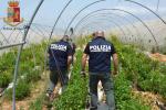 Scoperte seimila piante di cannabis a Vittoria, le foto del sequestro