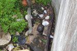 Palermo, vasche per l'irrigazione a secco: tartaruga a rischio alla Favorita