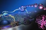 La mutazione diuna proteina cruciale nei processi di riciclo cellulare riesce ad allungare la vita ai topi (fonte: Nicolle Rager, National Science Foundation)