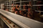 Video e foto shock di galline ovaiole in allevamenti