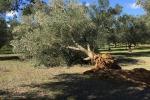 Xylella: Coldiretti Puglia,-60% olive Salento, danni 1,5 mld