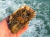 Allevamenti di ostriche in tre lagune della Sardegna