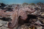 Uno degli 15 polpi che popolano Octlantide (fonte: Peter Godfrey-Smith)