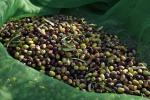 Sos olivicoltori, prezzi e clima pazzi giù fatturato del 30%