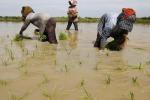 Salvini contro il riso asiatico, produttori con lui