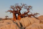 Un baobab nel Botswana (fonte: Pixabay)