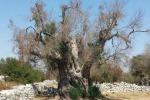 Xylella: ass.Puglia, disposti pagamenti per 950 agricoltori