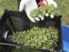 Consiglio Superiore Sanità, no a vendita cannabis light