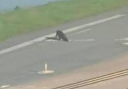 Il pilota di un aereo di linea è stato costretto a ritardare l'atterraggio a causa del grosso rettile sulla pista