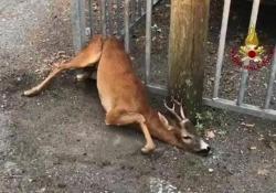 L'intervento a Feltre: l'animale era rimasto impigliato nella cancellata del circolo canottieri