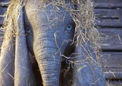 La nuova versione dell'elefantino volante arriverà nei cinema a marzo 2019