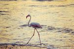 Un fenicottero rosa passeggia sulla spiaggia di Balestrate