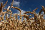 Dalla siccità alle piogge di giugno: danni all'agricoltura siciliana, crolla la produzione di grano duro