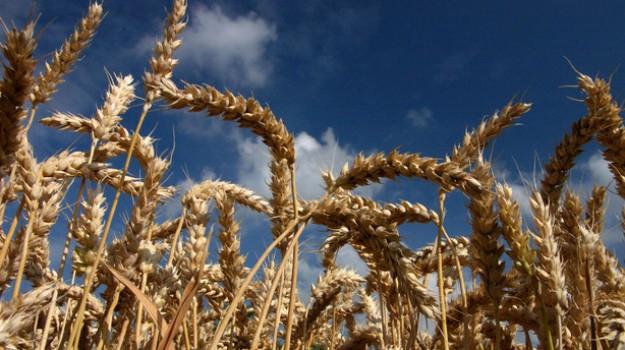 agricoltura sicilia, grano duro, Sicilia, Economia