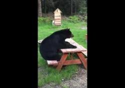 Carole Bullman, proprietaria di una casa in Alaska, ha filmato quest'orso che ogni anno le fa visita, E ogni anno torna a sedersi a quel tavolo da picnic