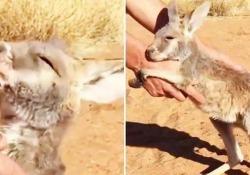 Il video dal Kangaroo Sanctuary, un centro di assistenza in Australia che vuole salvaguardare i vari esemplari di questo mammifero marsupiale