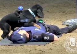 Poncho è il cane della polizia municipale di Madrid