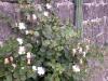 la pianta del cappero
