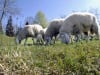 Bulgaria: allarme per focolai di peste ovina al sud