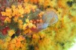 Una medusa catturata dalla Madrepora arancione (fonte: Fabio Badalamenti, Cnr e università di Edimburgo)