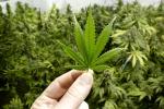 Regione, Razza istituisce un tavolo per l'uso terapeutico della cannabis
