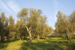 Olio: Assoprol,in Toscana atteso -20% produzione per il 2018