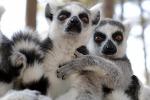I lemuri sanno riconoscere se un loro simile è debole sentendone l'odore (fonte: David Haring, Duke Lemur Center)